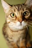 Nieuwsgierig Bengaals katje royalty-vrije stock foto's