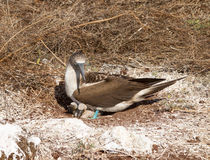 Nieuwsgierig blauw betaald domoorzeevogel en kuiken Royalty-vrije Stock Foto's