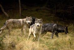 Nieuwsgierig Gray Wolves Stock Foto's