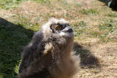 Nieuwsgierig Jong Eagle Owl Royalty-vrije Stock Foto