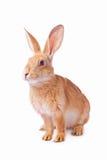 Nieuwsgierig jong rood geïsoleerd konijn