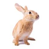 Nieuwsgierig jong rood geïsoleerdn konijn Royalty-vrije Stock Foto