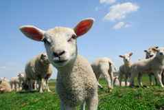 Nieuwsgierig lam in de lente Stock Fotografie