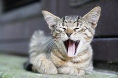 Nieuwsgierig leuk weinig gestreepte katkatje die, geeuw glimlachen stock afbeeldingen