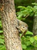 Nieuwsgierig Oostelijk Gray Squirrel Stock Foto's