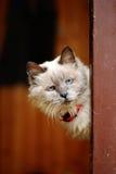 Nieuwsgierig oud kattenportret Royalty-vrije Stock Foto's