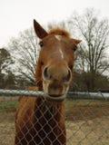 Nieuwsgierig paard Royalty-vrije Stock Afbeeldingen