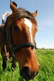 Nieuwsgierig paard Stock Afbeelding