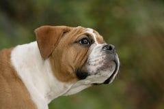 Nieuwsgierig puppy Royalty-vrije Stock Afbeeldingen