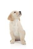 Nieuwsgierig puppy Stock Foto