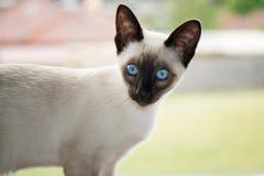 Nieuwsgierig siamese katje Stock Foto's
