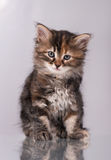 Nieuwsgierig Siberisch katje stock foto's