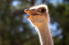 Nieuwsgierig struisvogelhoofd stock foto's