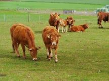 Nieuwsgierig vee bij een landbouwbedrijf Stock Fotografie