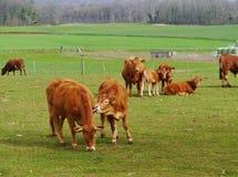 Nieuwsgierig vee bij een landbouwbedrijf Stock Foto