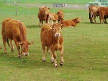 Nieuwsgierig vee op een landbouwbedrijf Royalty-vrije Stock Foto's