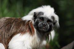 Nieuwsgierig weinig aap Stock Foto