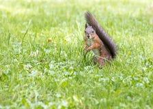 Nieuwsgierig weinig rode eekhoorn die zich in gras bevinden Stock Afbeelding