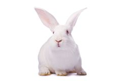 Nieuwsgierig wit geïsoleerd konijn Stock Afbeeldingen