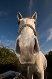 Nieuwsgierig wit paard Stock Foto's