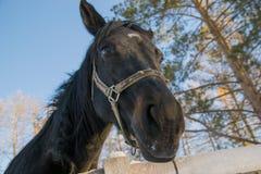 Nieuwsgierig zwart paard Royalty-vrije Stock Afbeelding