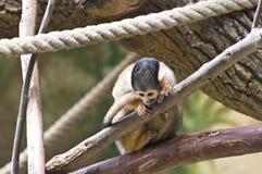 Nieuwsgierige aap Stock Afbeelding