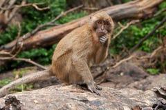 Nieuwsgierige aap Stock Afbeeldingen