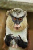 Nieuwsgierige aap royalty-vrije stock afbeeldingen