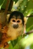Nieuwsgierige aap die u bekijkt Stock Foto's