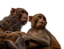 Nieuwsgierige aap twee op een witte achtergrond Stock Foto's