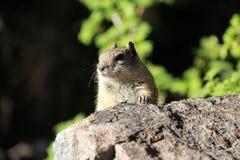 Nieuwsgierige Aardeekhoorn stock fotografie