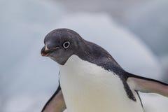 Nieuwsgierige adeliepinguïn Stock Foto's