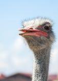 Nieuwsgierige Afrikaanse struisvogel Royalty-vrije Stock Foto