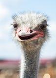 Nieuwsgierige Afrikaanse struisvogel Stock Afbeelding