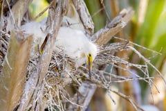 Nieuwsgierige Baby Sneeuwaigrette in Nest die de Grote Grote hieronder Wereld bekijken stock afbeeldingen