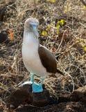 Nieuwsgierige blauwe betaalde domoorzeevogel op de Galapagos Royalty-vrije Stock Afbeelding