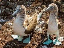 Nieuwsgierige blauwe betaalde domoorzeevogels op de Galapagos Stock Foto's