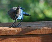 Nieuwsgierige blauwe Vlaamse gaai Royalty-vrije Stock Foto