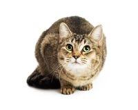 Nieuwsgierige bruine gestreepte katkat die omhoog eruit zien Stock Fotografie