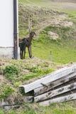 Nieuwsgierige bruine schapen die rond een gebouw turen royalty-vrije stock afbeeldingen