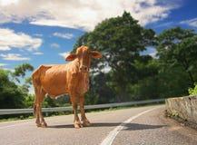 Nieuwsgierige Caraïbische koe Stock Fotografie