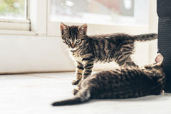 Nieuwsgierige Cat Looking in zijn Mate Resting op Vloer royalty-vrije stock fotografie