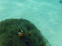 Nieuwsgierige clownvissen royalty-vrije stock afbeelding