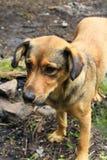 Nieuwsgierige dakloze hond die om voedsel vragen Hond die droevig vooruit eruit zien Royalty-vrije Stock Afbeeldingen