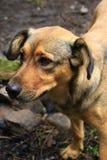 Nieuwsgierige dakloze hond die om voedsel vragen Hond die droevig vooruit eruit zien Royalty-vrije Stock Fotografie