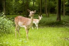 Nieuwsgierige deers Stock Afbeeldingen