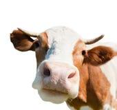 Nieuwsgierige die koe, op witte achtergrond wordt geïsoleerd Royalty-vrije Stock Afbeeldingen