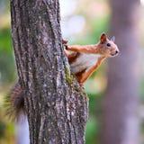 Nieuwsgierige eekhoorn Royalty-vrije Stock Foto
