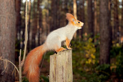 Nieuwsgierige eekhoorn Stock Fotografie