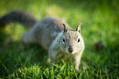 Nieuwsgierige Eekhoorn Royalty-vrije Stock Foto's